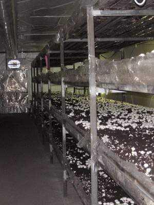 на чем выращивают шампиньоны в промышленных масштабах