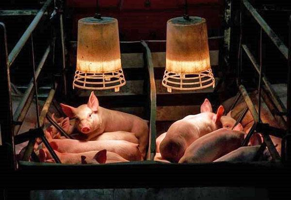 Теплый свинарник для поросят со свиноматкой