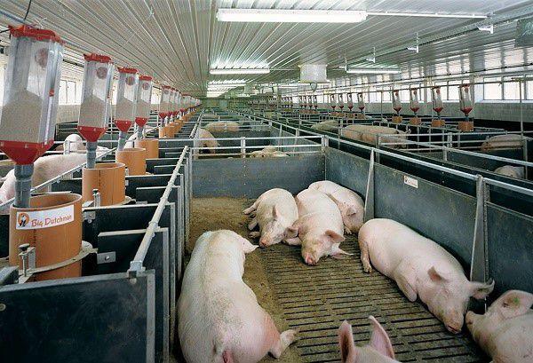 Основная задача вентиляции - обеспечить свиньям комфортные условия существования и должный уровень здоровья