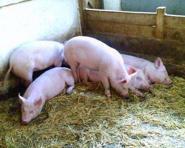 Необходимо продумать интенсивность вентиляции для каждого отделения заранее, дабы температурный режим не сбился, и ваше свиноводческое предприятие не пришло в упадок