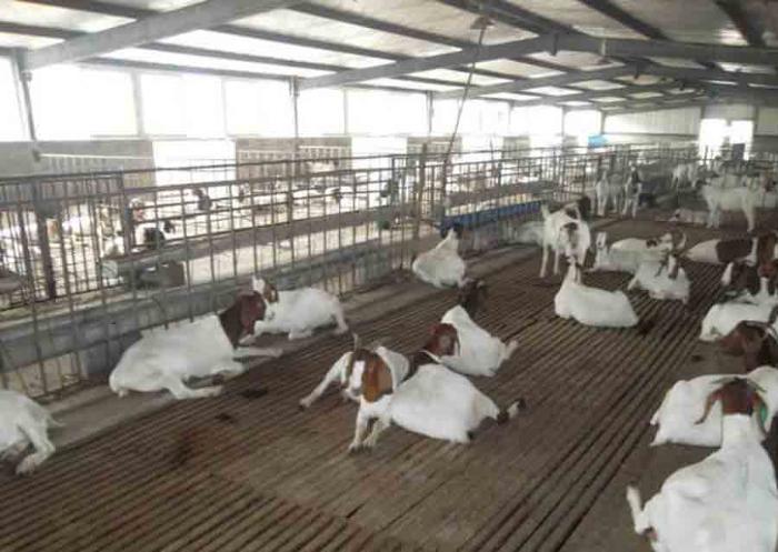 Промышленная вентиляция козьей фермы