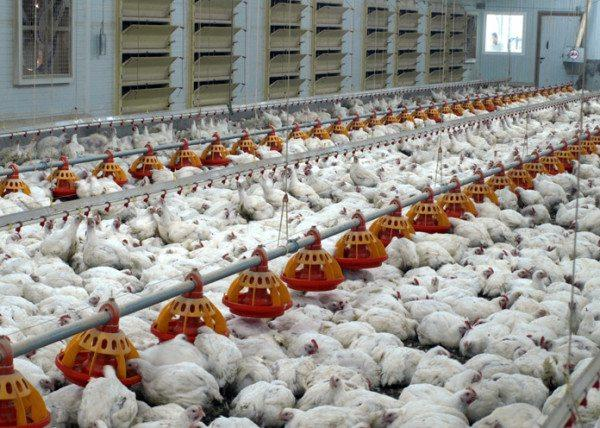 Для птицеферм необходимо разрабатывать специальную принудительную систему вентиляции