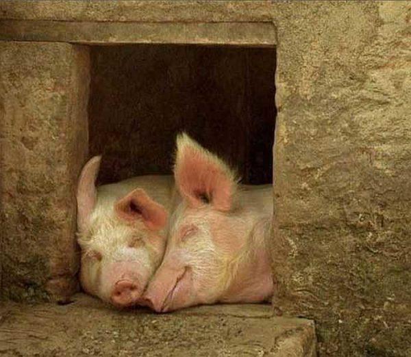Свинкам должно быть хорошо, тогда они будут быстро расти