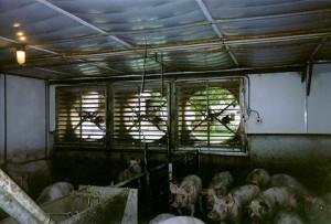 Система вентиляции в свинарнике