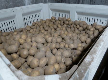 Картошка храниться в ящиках
